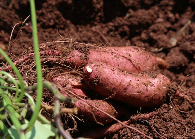 农家自种红薯